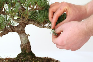 Why My Juniper Bonsai Will not Recover from Pruning