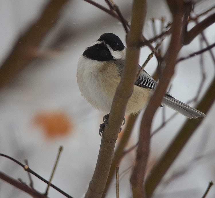 In a snowstorm, a chickadee looks up at the snowflakes. It holds on tightly to a branch as it braces against the cold arctic breeze.
