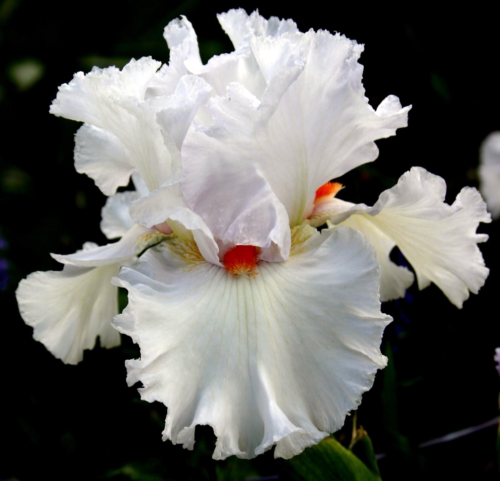 World Of Irises Talking Irises White Tall Bearded Irises Im