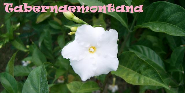 http://plantukis.blogspot.com.es/2016/11/tabernaemontana-genero-informacion-y.html