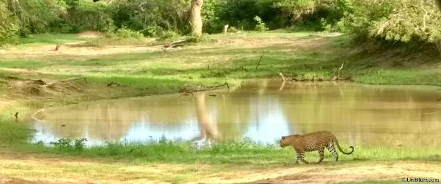 Leopard shot captured in Yala National Park