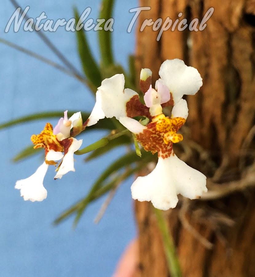 Variedad con flores más grandes de la orquídea Tolumnia variegata