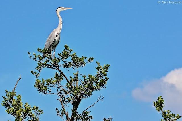 Fischreiher sitzt auf der Spitze eines Baumes