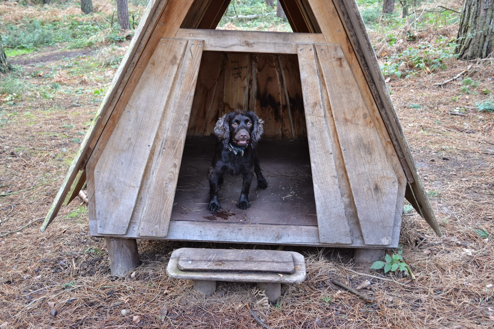 chocolate-cocker-spaniel-in-hut
