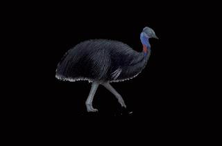 Burung Kasuari Kerdil (Casuarius Bennetti)