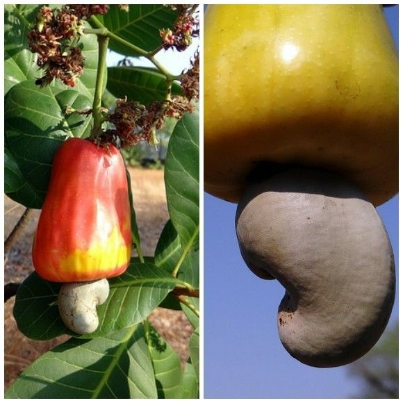 cashew apple - closeup view