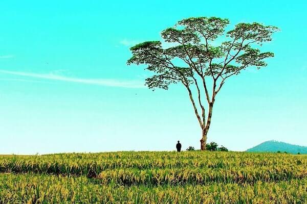 pohon jomblo