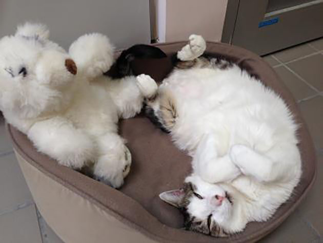 Tabby-and-white cat (Joel) curled in pet bed with teddy bear