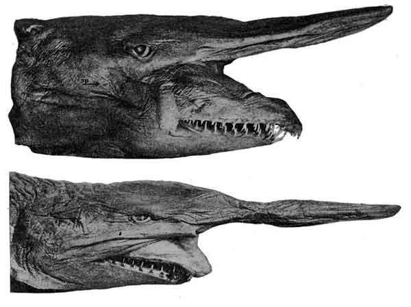 Tubarão Duende
