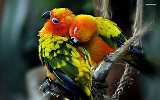 Burun Lovebrid - Mengenal Burung Lovebrid - Burung Lovebrid Burung Simbol Cinta - Penangkaran Burung Lovebrid