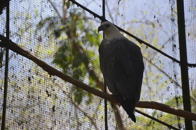 Palawan Eagle