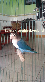 harga lovebird biru mangsi fc fischery