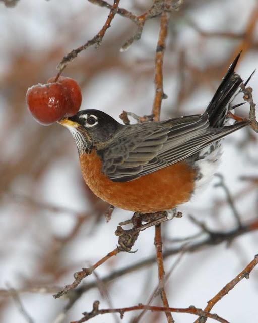 american robin images clip art