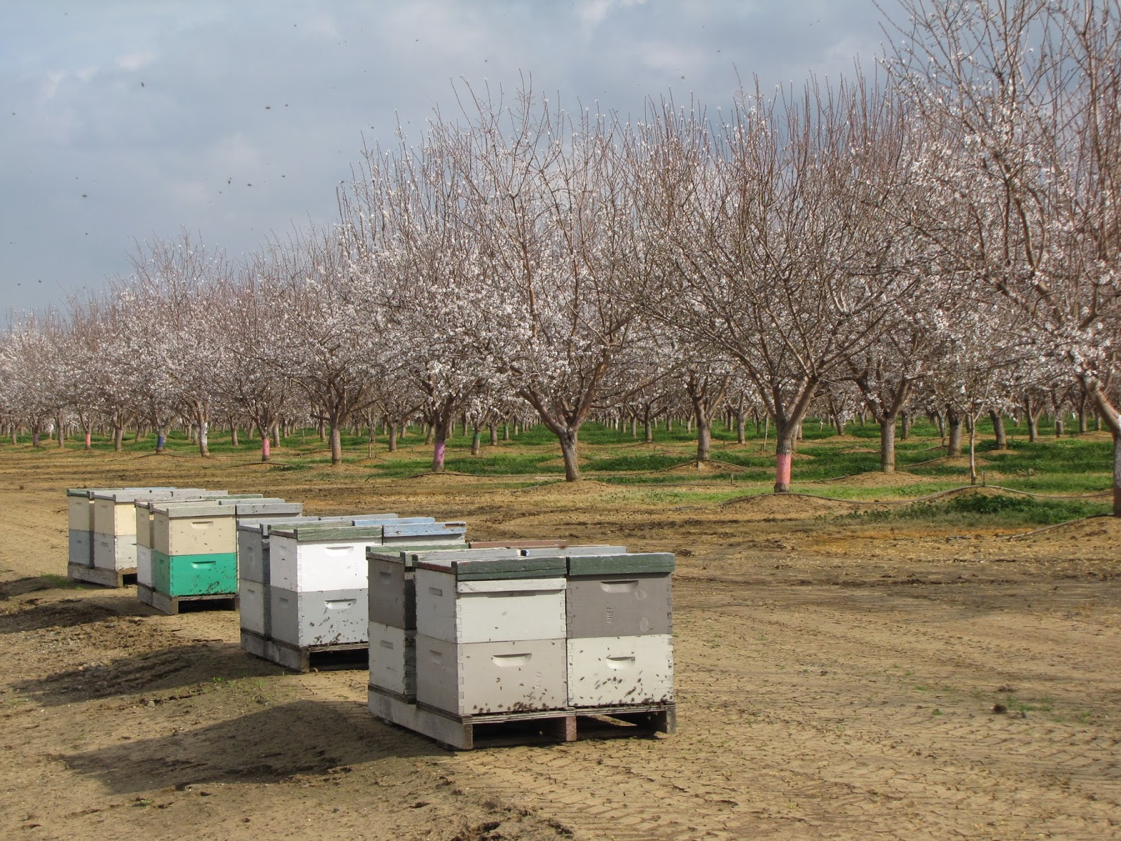Hives Near Almonds For Pollination