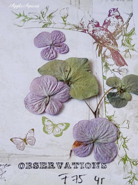 pressed flowers Hydrangea by AppleApricot