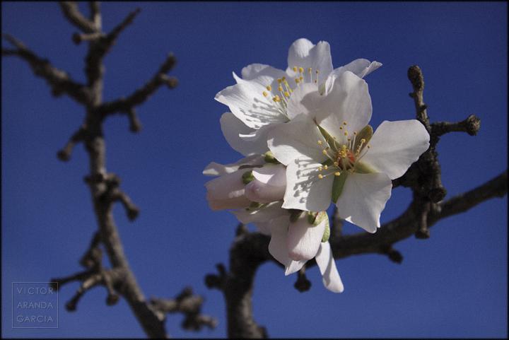 fotografia,almendro,murcia,flores,naturaleza
