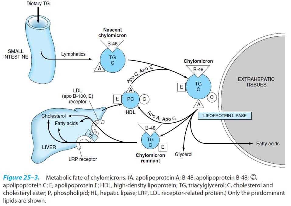 Lipoprotein(a)