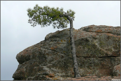 Detalle el pino bandera agarrado a la piedra arenisca (Chequilla)