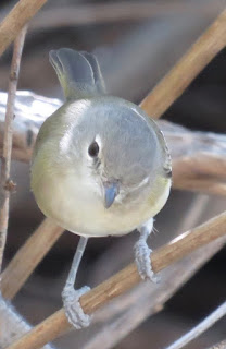 Bell's Vireo, Pima County, Arizona