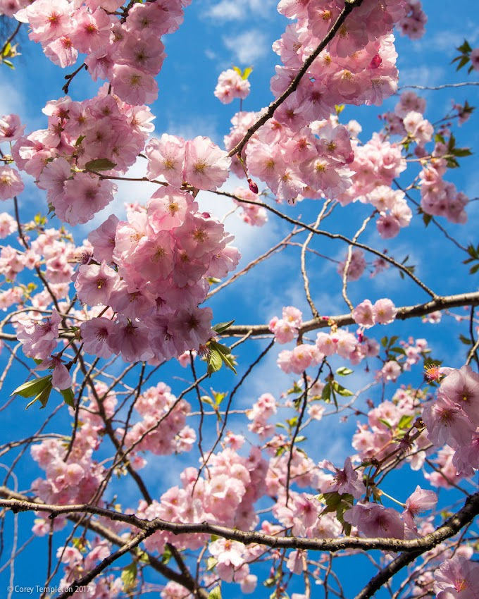 Portland, Maine USA May 2017 photo by Corey Templeton. The quintessential springtime shot looking up at cherry blossoms in a tree.