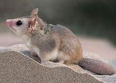 Comadrejita patagónica Lestodephys halli
