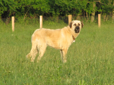 Anatolian Shepherd Working Dog