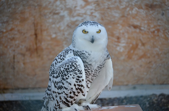 Unduh 1070+ Foto Gambar Burung Hantu Bagus  Terbaik Free
