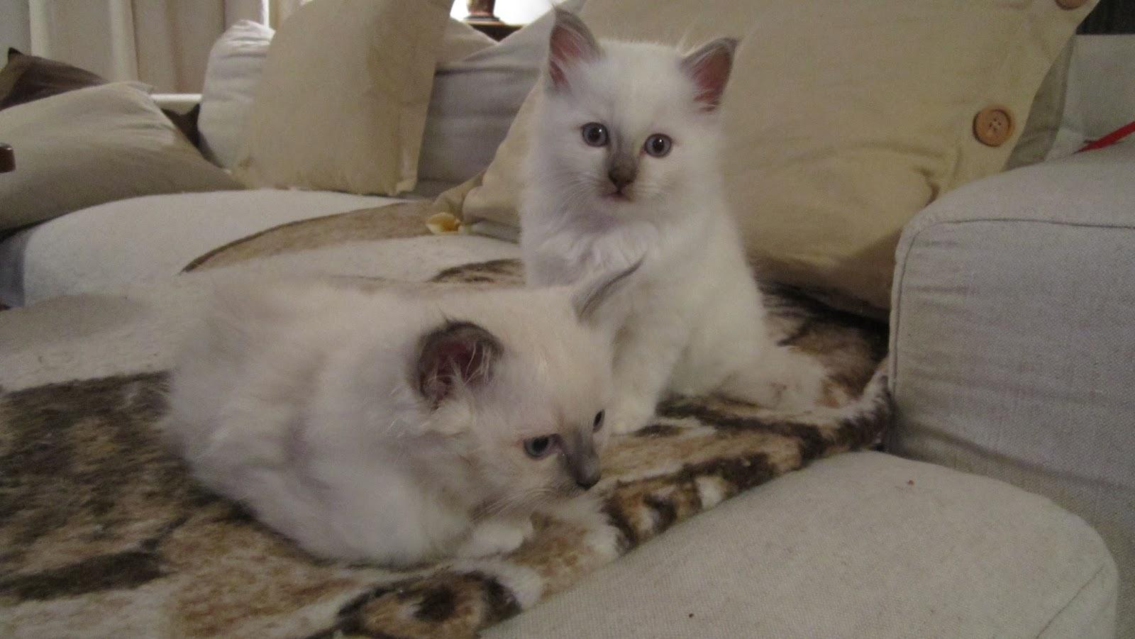 Sacré De Birmanie Chatons et chats de race LOOF ou dapparence