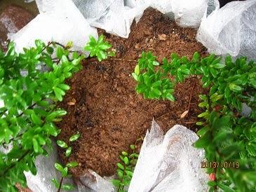クランベリーの植え替え-クランベリーの育て方