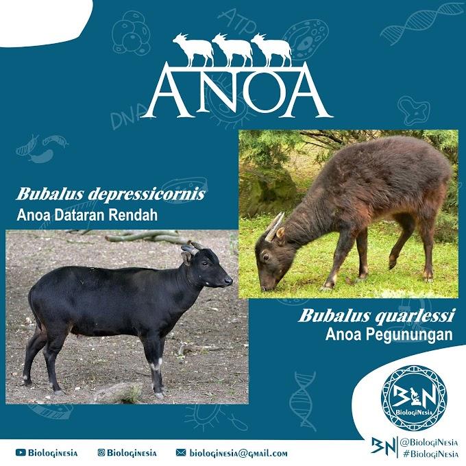 Klasifikasi si Kerbau Kerdil (ANOA)
