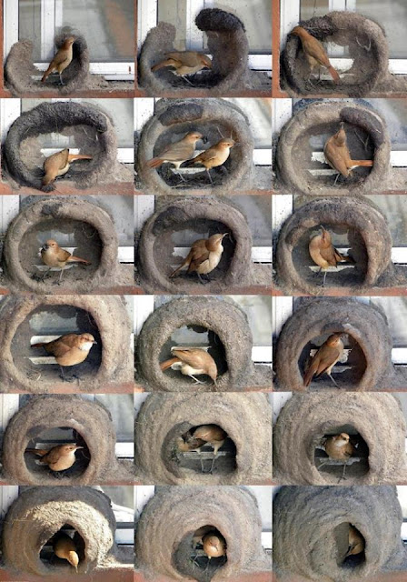 construcción del nido de un hornero