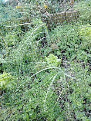 Orto di dicembre: lattughe, finocchi e menta