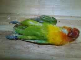 lovebird nyilet