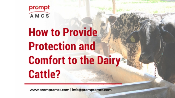 How to Provide Protection and Comfort to the Dairy Cattle?