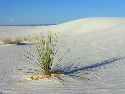Yucca ensablé