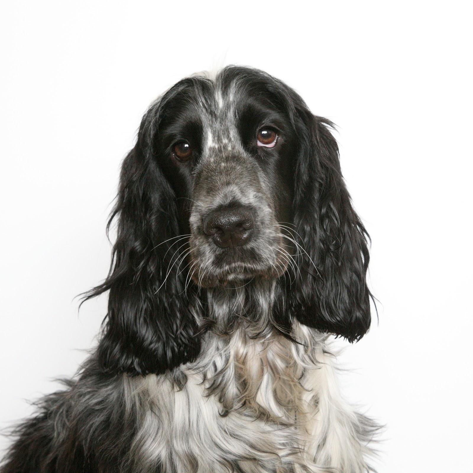 Dog Photo: Kind Of American Cocker Spaniel Dog