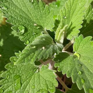 Macskamenta - Nepeta - gyógynövény