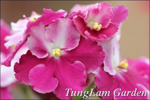 Bán Tử linh lan, tử la lan, tu linh lan, tu la lan, hoa nội thất, cây cảnh nội thất, dạ yến thảo, phong lữ thảo, dừa cạn rủ, hoa chuông million bells