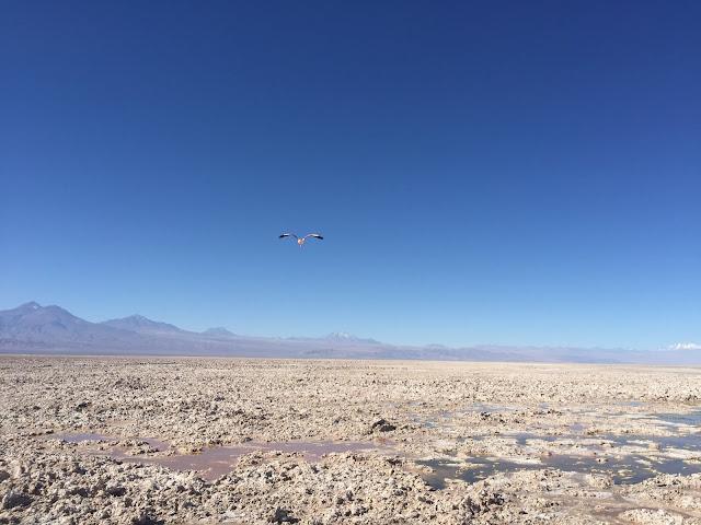 Flamingo na Lagoa Chaxa, no Atacama