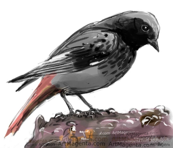 Black Redstart sketch painting. Bird art drawing by illustrator Artmagenta