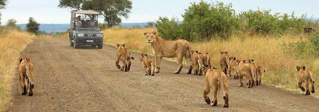 Lion+Safaris