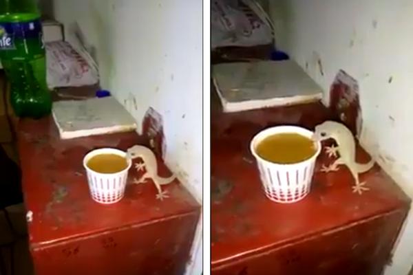 Seperti Manusia, Beredar Video Cicak Dengan Nikmatnya Minum Segelas Kopi