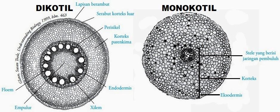 Gambar Anatomi Bunga Dikotil Dan Monokotil Informasi Seputar Tanaman Hias