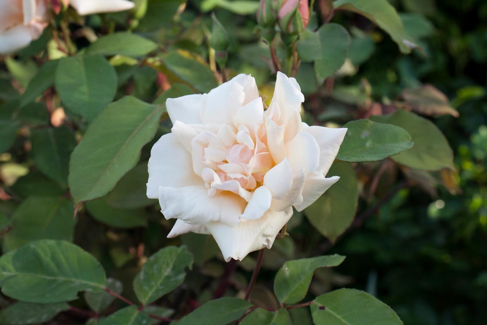 Il piccolo giardino di L.: La rosa tea Safrano