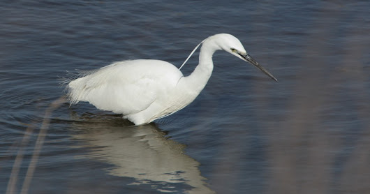 Little Egret.