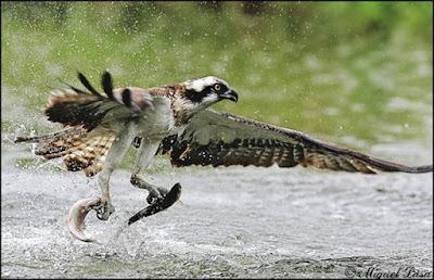 Fotografia de ave pescando dos peces a la vez