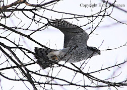 Goshawk visiting