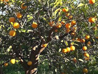 orange fruit information in hindi | संतरा