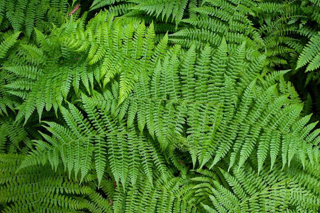 Takson dan Klasifikasi Tumbuhan Paku