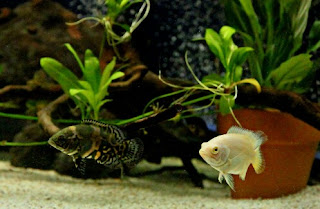 Jenis Ikan Oscar dan Harganya, Oscar Albino